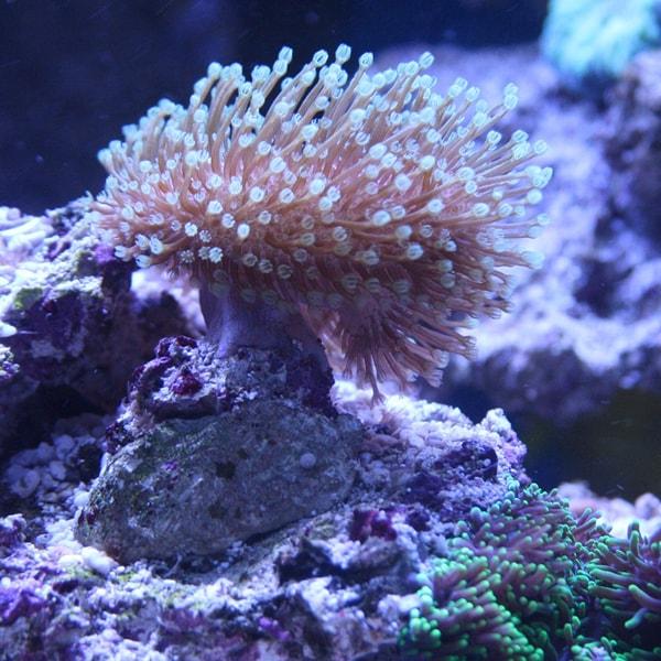 Living Coral Polyps